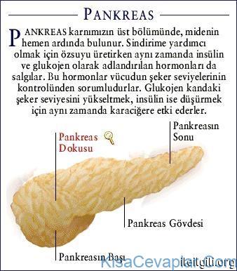 Pankreasın Görevleri ile ilgili görsel sonucu