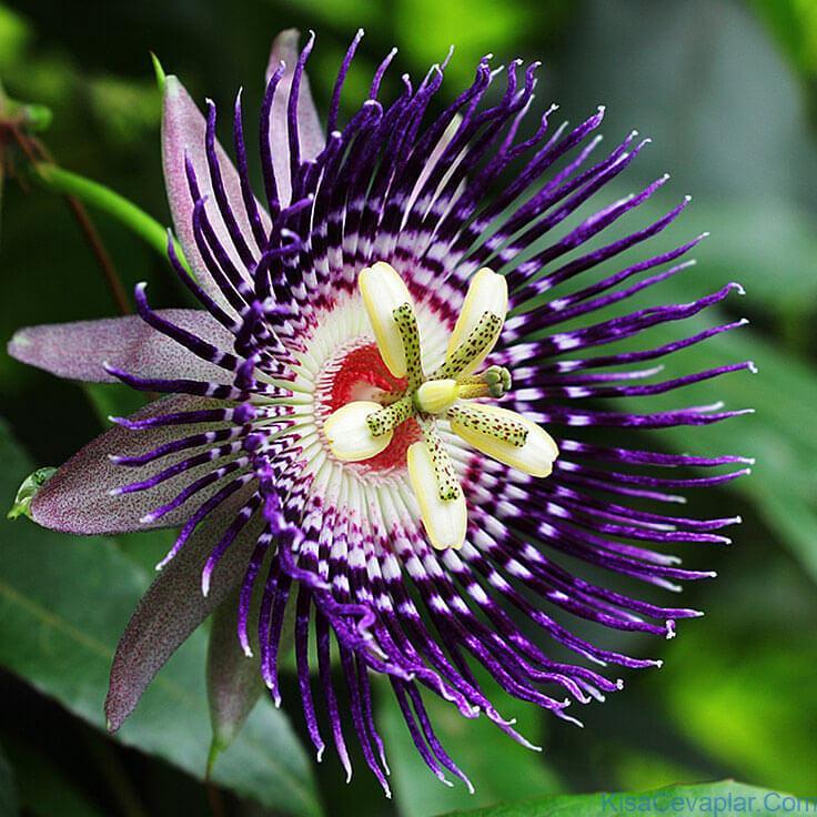 Passionflower ile ilgili görsel sonucu